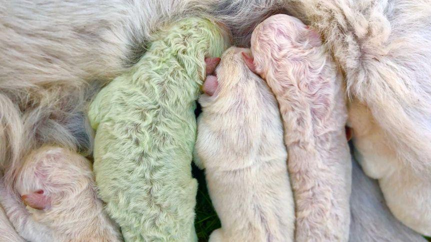 ولادة جرو أخضر في إيطاليا (1)