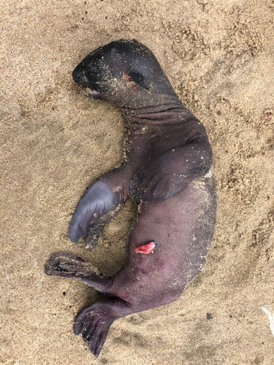 جنين كلب البحر ميت يرقد على الشاطئ