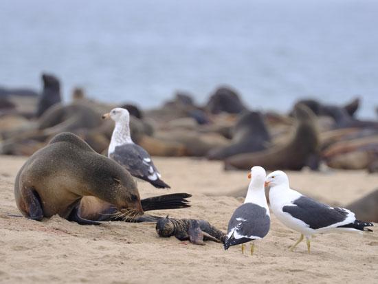 كلاب البحر ماتت على شواطئ ناميبيا