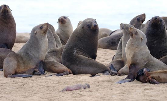 كلاب البحر