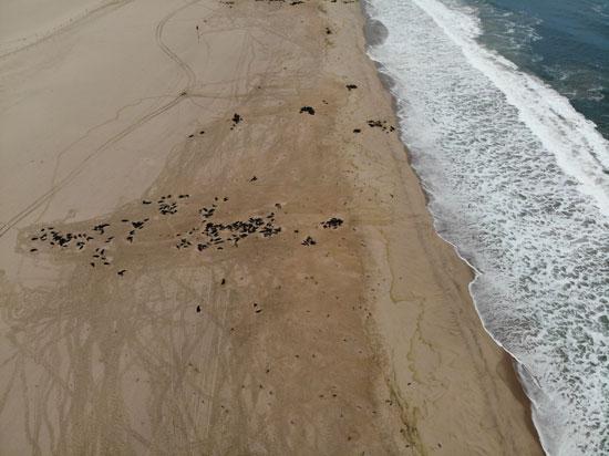 وفاة الآف كلاب البحر على شاطئ نامبيبيا