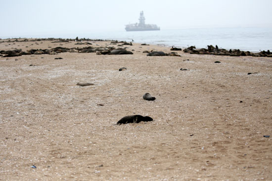 المياه جرفت الآف كلاب البحر وهم ميتين
