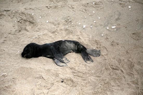 وفاة الاف كلاب البحر مازال لغزًا