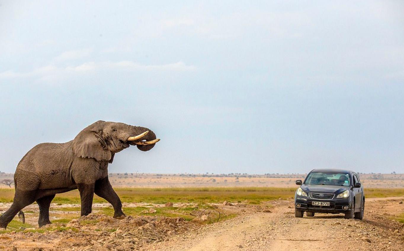 الفيل يهاجم السيارة