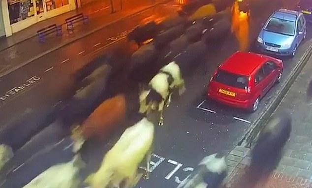 البقر الهارب  (2)