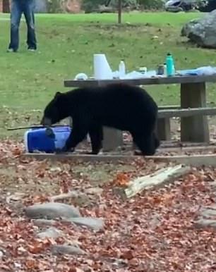 دب يسرق آيس بوكس لإحدى الأسر أثناء تواجدها في حديقة بأمريكا (3)
