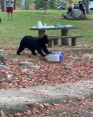 دب يسرق آيس بوكس لإحدى الأسر أثناء تواجدها في حديقة بأمريكا (4)