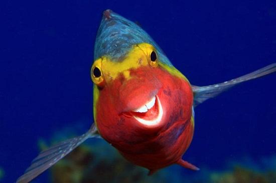 سمكة ببغاء