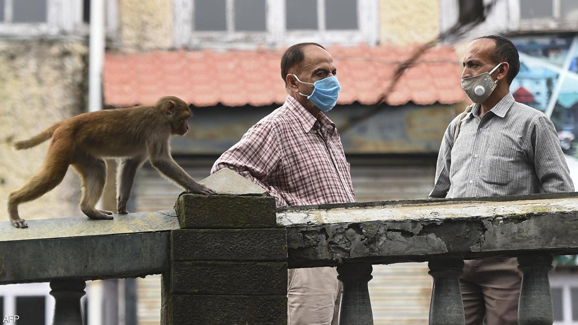القردة تسير بحرية