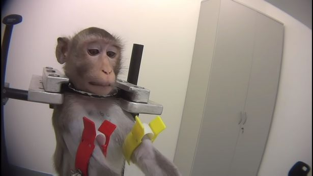 0_SOCIAL-Monkeys-scream-out-in-pain-in-secret-footage-recorded-at-German-lab (1)