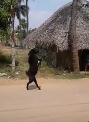 ماعز يسير مثل البشر  (1)