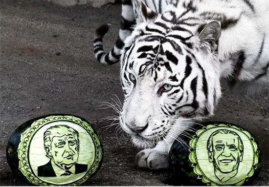 استخدام نمر أبيض فى التنبؤ