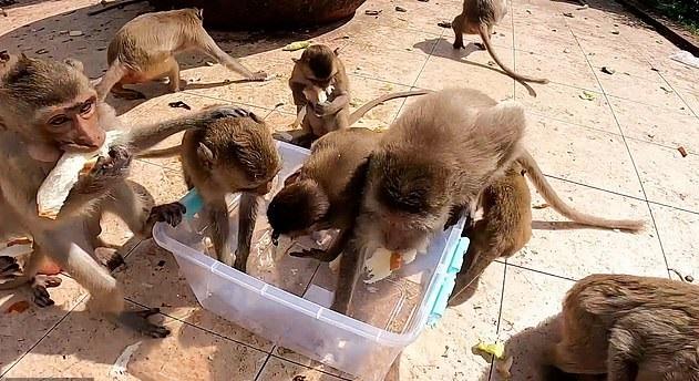القرود تعانى الجوع بسبب كورورنا ويتدافعون على الخبر في تايلاند (3)