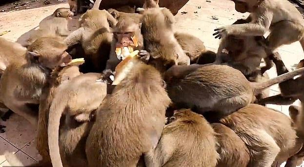 القرود تعانى الجوع بسبب كورورنا ويتدافعون على الخبر في تايلاند (2)