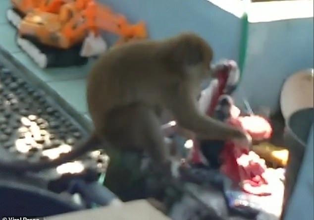 صورة أخرى للقرد خلال غسيل الملابس