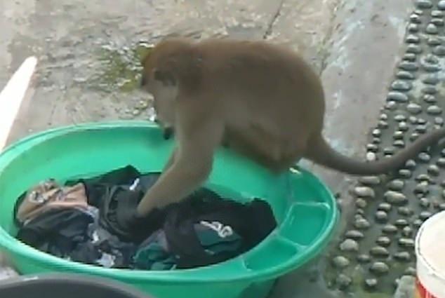 قرد يغسل الملابس