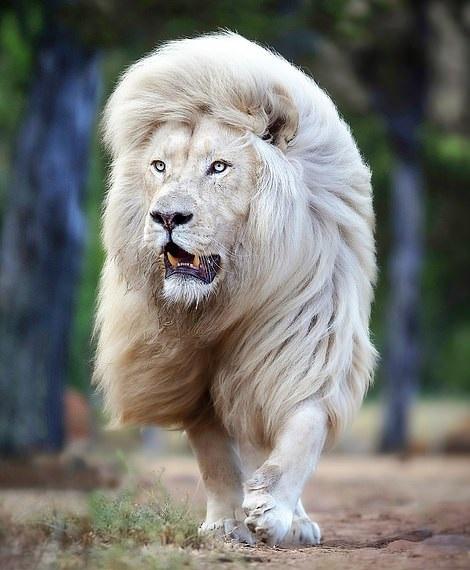 أسد أبيض يحظى بشعر رائع بجنوب إفريقيا  (2)
