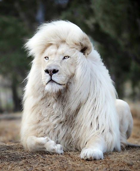 أسد أبيض يحظى بشعر رائع بجنوب إفريقيا  (4)