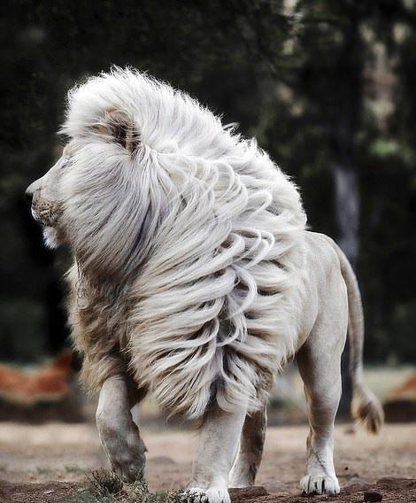 أسد أبيض يحظى بشعر رائع بجنوب إفريقيا  (1)