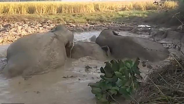 سكان مدينة هندية ينقذون 3 أقيال قبل غرقهم في الوحل (3)