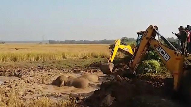 سكان مدينة هندية ينقذون 3 أقيال قبل غرقهم في الوحل (2)