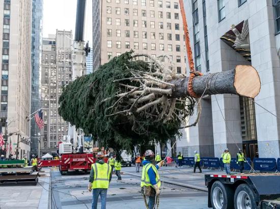شجرة التنوب النرويجية من Oneonta في نيويورك