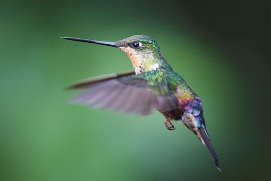 طائر الطنان (4)