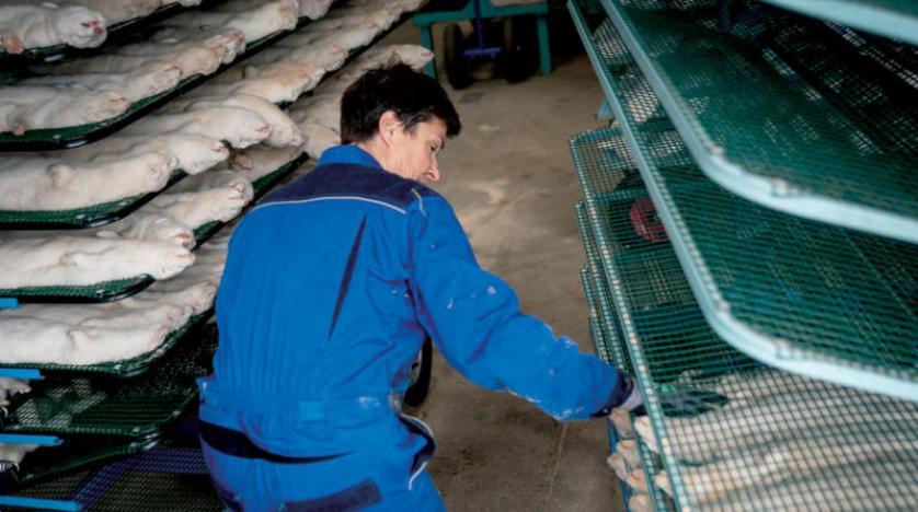 مزرعة لحيوان المينك في الدنمارك حيث يُشتبه بحدوث تحور جديد في فيروس {كورونا}