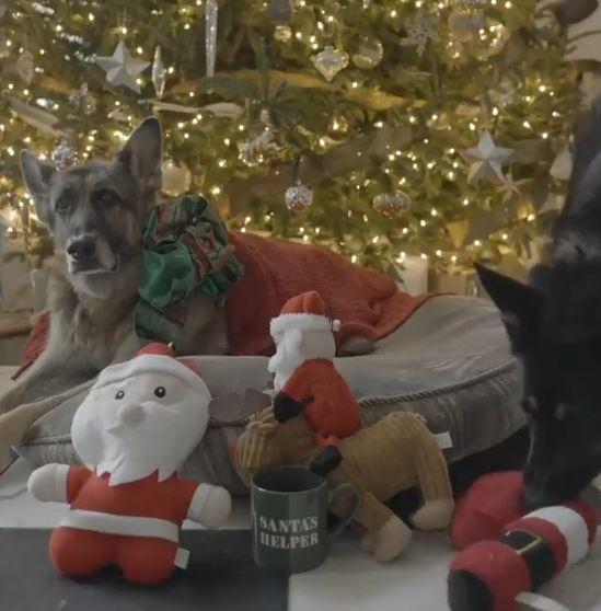كلبان يملكهما جو بايدن يحتفلان بالكريسماس