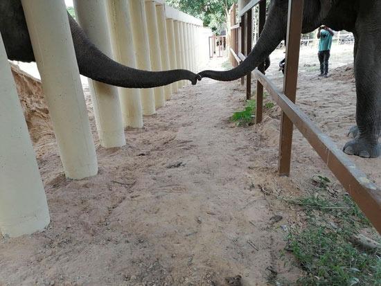 الفيل كان يعاني الوحدة بعد وفاة رفيقته