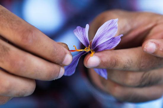 يتطلب صنع 100 جرام فقط حوالي 50 ألفا من خيوط الزعفران