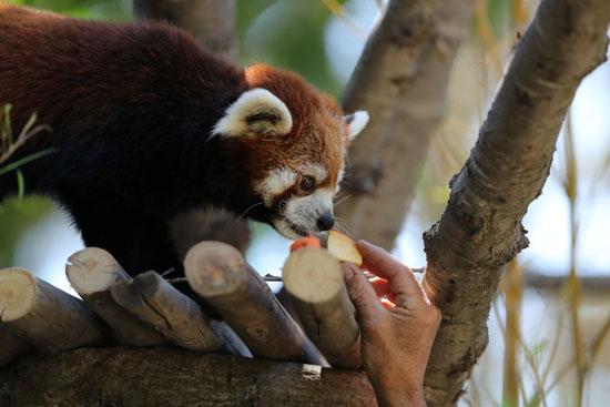 زوجا الباندا يبلغان من العمر ستة أعوام