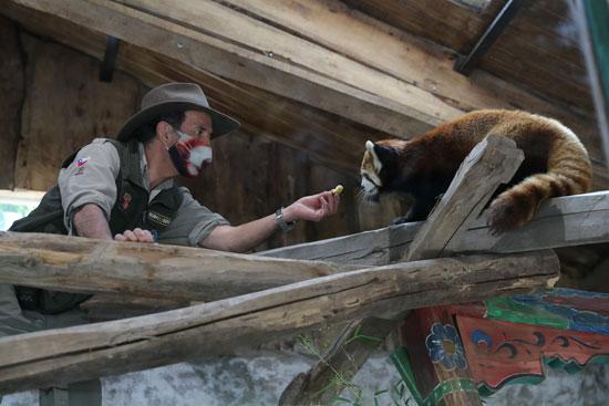 حارس الحديقة يطعم الباندا النادرة