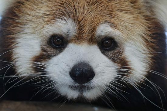 حيوانات باندا حمراء مُهددة بالانقراض