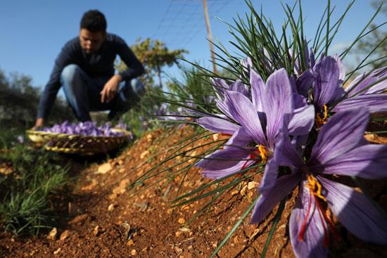 تم إنشاء أول مزرعة نبات الزعفران في الأردن