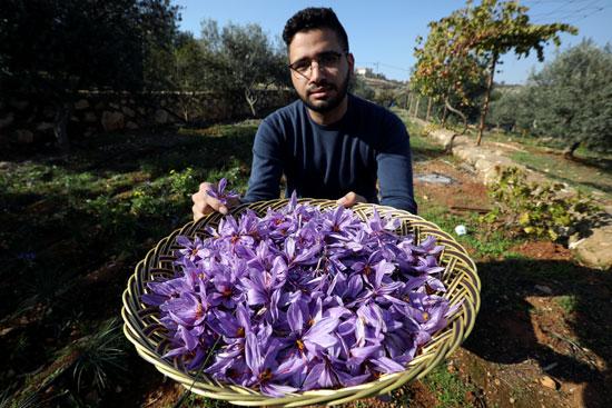 عامل يجمع أزهار الزعفران في أول مزرعة في الأردن