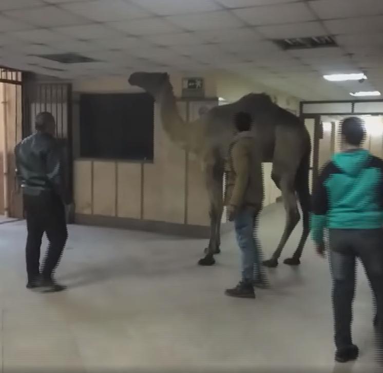 جمل يتجول بمستشفى اوسيم بالجيزة