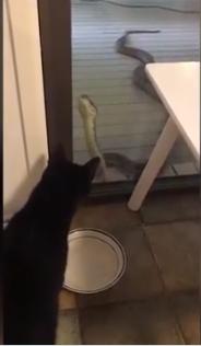 القطة تنظر للثعبان