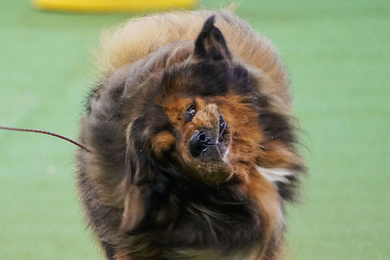 كلب كبير من التبت