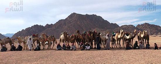 جولة سباقات هجن مصرية برعاية إماراتية (9)