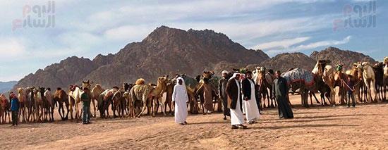 جولة سباقات هجن مصرية برعاية إماراتية (12)