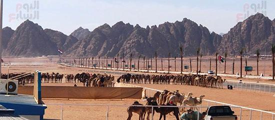جولة سباقات هجن مصرية برعاية إماراتية (3)