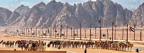 جولة سباقات هجن مصرية برعاية إماراتية (4)