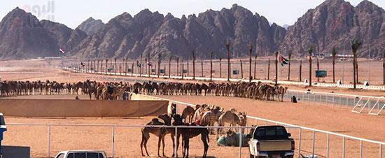 جولة سباقات هجن مصرية برعاية إماراتية (2)