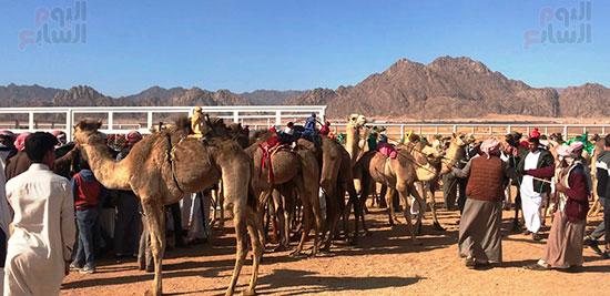 جولة سباقات هجن مصرية برعاية إماراتية (8)