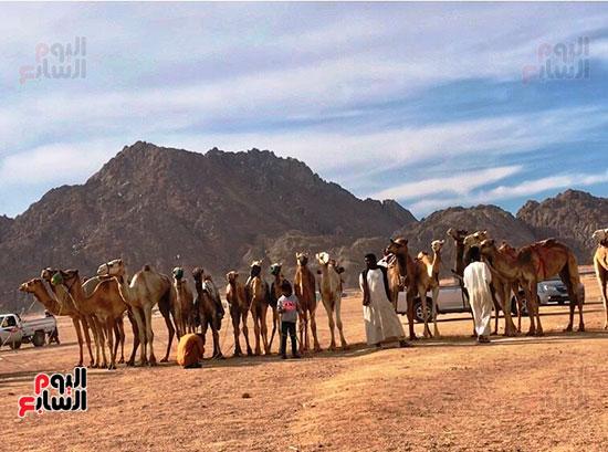 جولة سباقات هجن مصرية برعاية إماراتية (11)