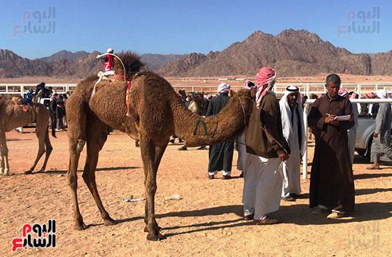 جولة سباقات هجن مصرية برعاية إماراتية (7)