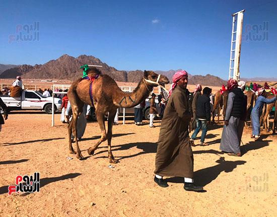 جولة سباقات هجن مصرية برعاية إماراتية (6)
