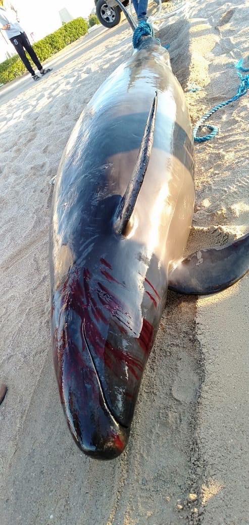 الحوت الكاذب نافق (3)