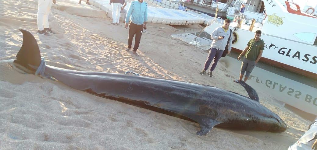 الحوت النافق بساحل الغردقة  (3)